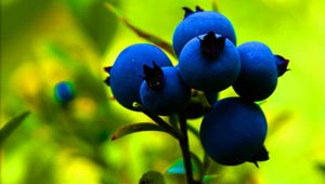blueberry-food-fruit-vegetable-small-300